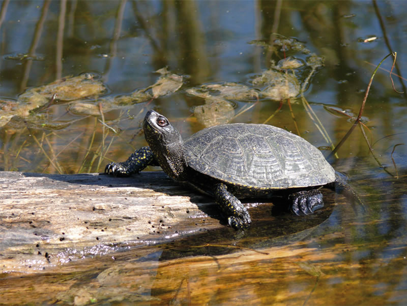 La tortue cistude - The european pond turtle